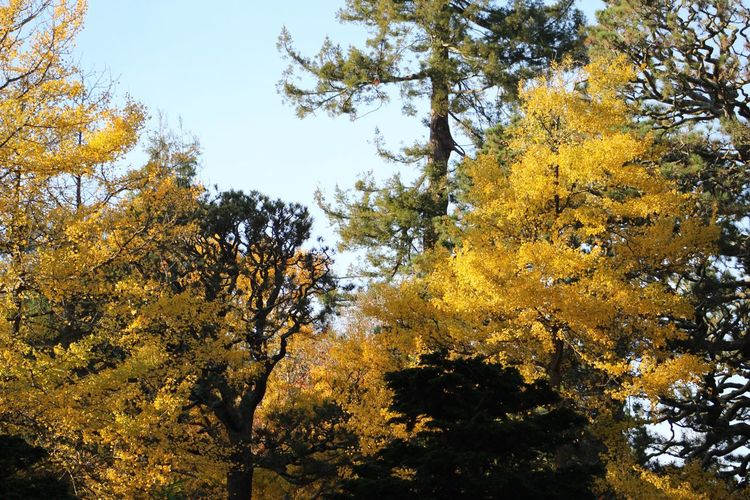 Trees in the Fall at San Francisco's Japanese Tea Gardens Canonphotography Canon Canon_photos Canon Rebel T6 Leaves🌿 Nature Outdoors Trees Yellow Leaves Fall Fall Beauty