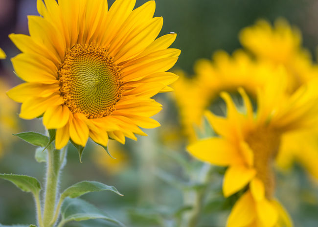 sunflowers Autumn EyeEm Best Shots EyeEm Nature Lover Late Summer Colours Nature Olympus Beauty In Nature Day Edithnerophotography Flower Flower Head Fragility Freshness Garden Growth Late Summer Blossoms Nature Outdoors Petal Plant Sun Flower Sunflower Sunflower Heads Yellow Yellow Flower Heads