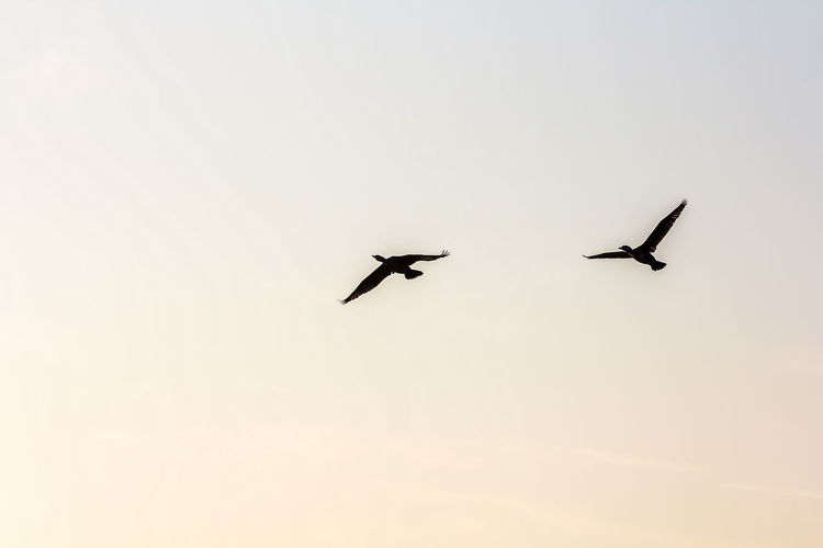 Animal Themes Animals In The Wild Bird Day Flying Low Angle View Nature No People Outdoors Silhouette Sky Spread Wings Sunset