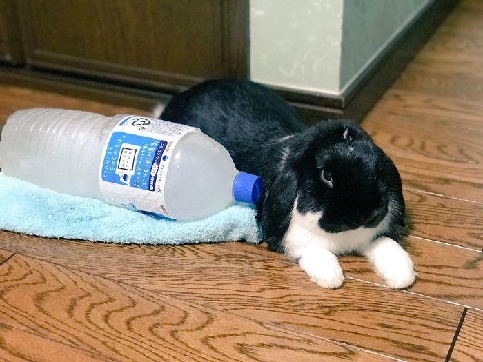 Rabbit Mammal