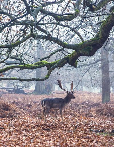 Deer in the