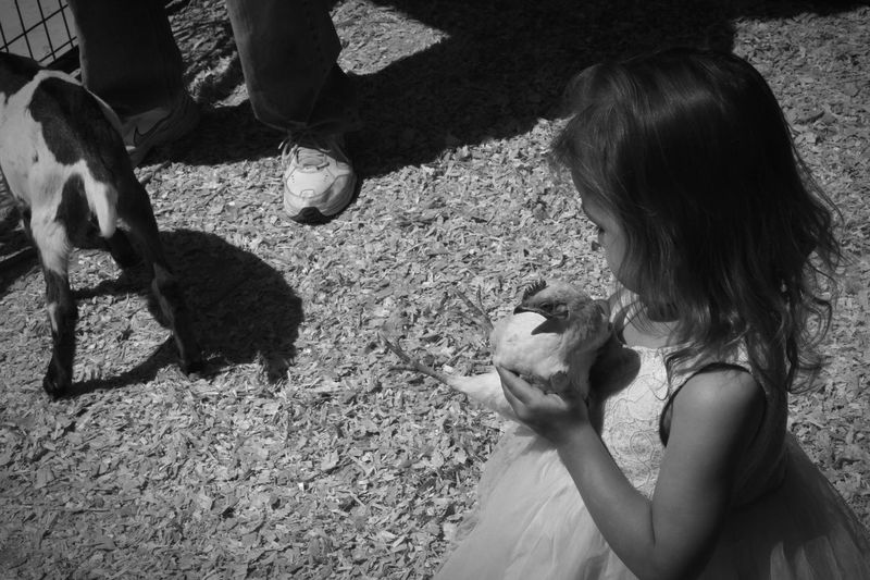 High angle view of girl holding hen on field