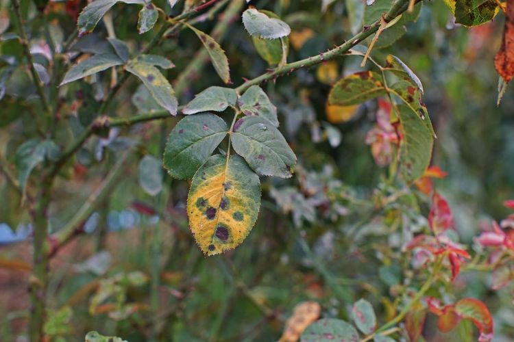 plant disease on rose's leaves causes by fungi Fungicides Close-up Damaged Detail Environment Fungi Garden Green Color Growth Leaf Nature Outdoors Pest Pesticide Plant Plant Disease Plant Part Roses Tree
