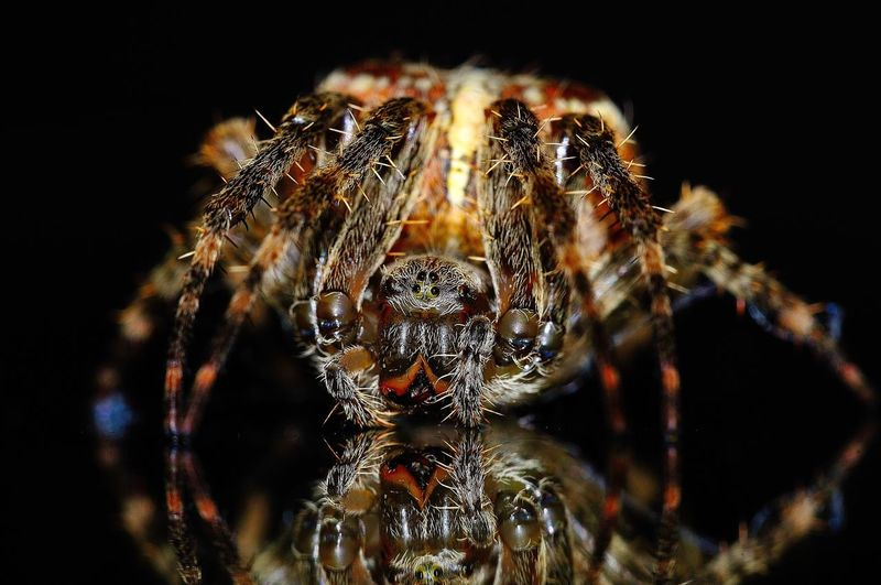 Close-up of spider on black background