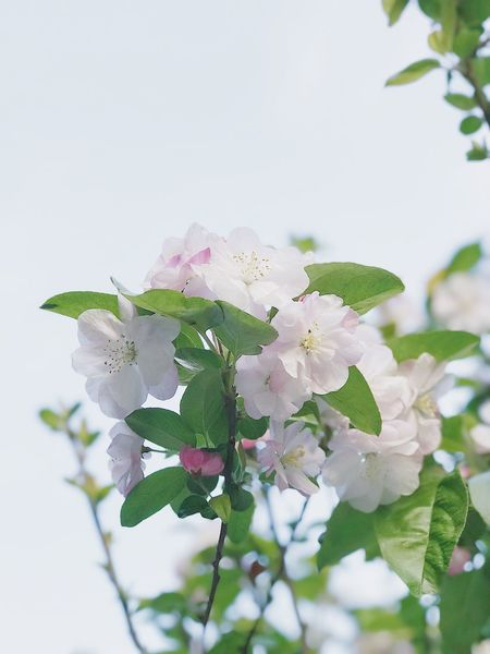 Flower Growth Fragility Nature Beauty In Nature Freshness Petal Close-up Tree White Color Apple Blossom No People Springtime Blooming Plant Twig Flower Head Leaf Day