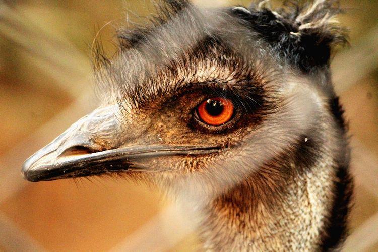 Close-up of an emu