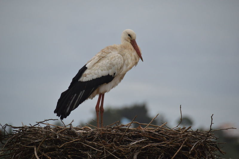 Low Angle View Of Stork On Nest Against Sky