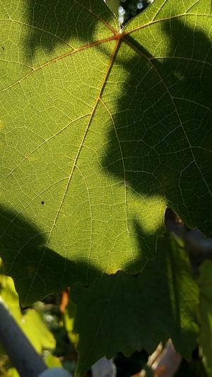 Nature No People Leaf Beauty In Nature Green листья начало осени зеленый желтый солнце