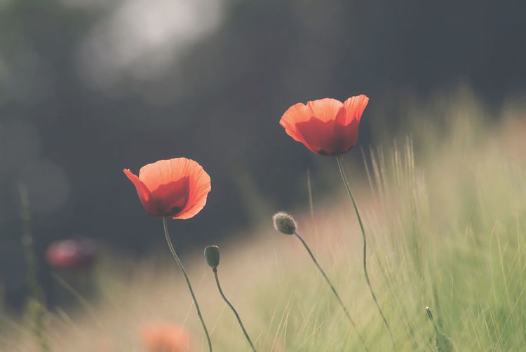 Flowering Plant Flower Plant Beauty In Nature Freshness Growth Fragility Vulnerability  Petal Field Close-up Inflorescence Flower Head Nature Focus On Foreground Land Red No People Poppy Plant Stem Outdoors Orange
