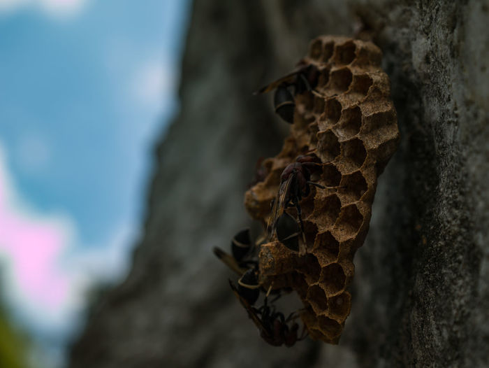 Macro empty wasp nest and selective focus wite copy space for text. Animal Beware Bug Building Buzz Cell Colony Constructing Danger Dangerous Design Dry Macro Nest Shapes Sting Wasp Working