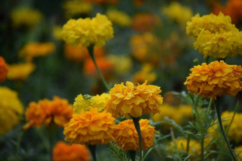 Oops.. sorry awhile ago.. i have posted by mistake. | Here is the original full frame version ~ Marigolds🌻 《マリーゴールド》 | NoEditNoFilter 無加工 Flower Freshness Fragility Beauty In Nature Flower Photography Flowers, Nature And Beauty Fleur ♡ Flowers,Plants & Garden Flora EyeEm Flower Unedited EyeEm Gallery EyeEmNewHere EyeEm Best Shots EyeEm Best Shots - Flowers Mynikonlife Nikon Photography From My Point Of View