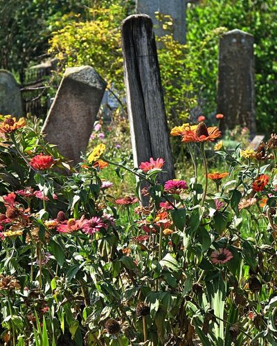 Autumn Autumn colors Cemetery Cemetery Photography Close-up Day Flower Flowers Growth Nature No People Outdoors Plant Tombstones