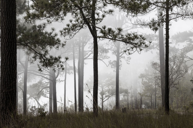 Pine tree silhouette and foggy Tree Plant Forest Land Trunk Tree Trunk Nature Environment Fog Growth Day No People Smoke - Physical Structure Beauty In Nature Non-urban Scene Field WoodLand Landscape Outdoors Nature Pine Tree Silhouette National Park Foggy Mist