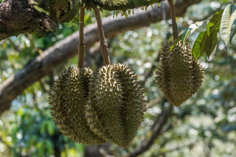 Durian Plant Tree Growth Nature No People Focus On Foreground Beauty In Nature Fruit Food And Drink Low Angle View Pine Cone Green Color Sharp Branch Tranquility Sunlight Close-up Outdoors Day Food