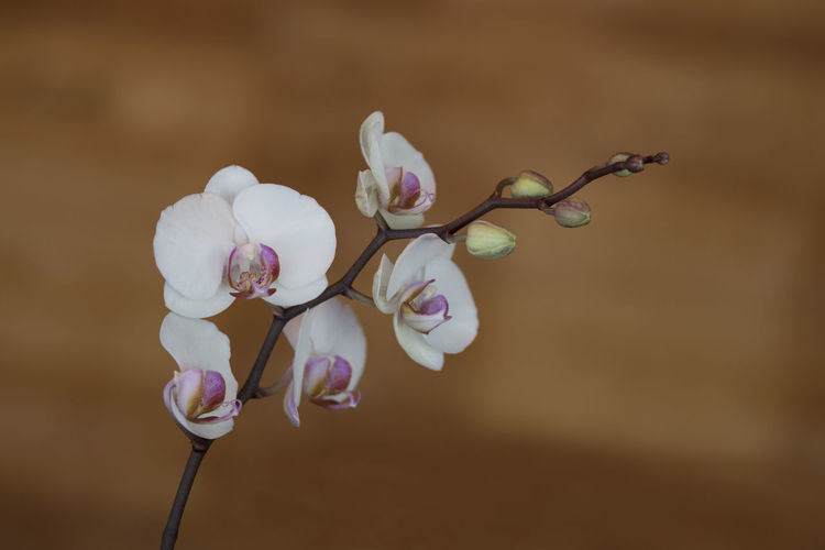 Beauty In Nature Blooming Blossom Bokeh Botany Brown Background Bud Close-up Flower Flower Head Focus On Foreground Fragility Freshness Growth Ice Cube Orchid In Bloom Nature No People Orchid Petal Pink Color Plant Stem Twig White And Pink Orchid