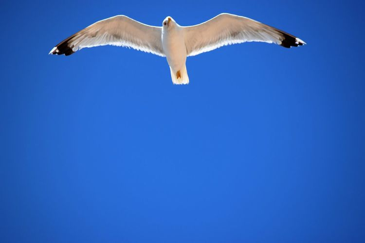 Blue Clear Sky Croatia Eye4photography  EyeEm Best Edits EyeEm Best Shots EyeEm Gallery EyeEm Nature Lover Nature Outdoors Photography Seagull SEAGULL IN FLIGHT Sky Spread Wings