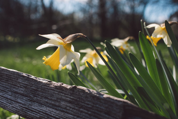 Springtime Decadence Plant Flowering Plant Flower Vulnerability  Yellow Fragility Petal Freshness Close-up Growth Beauty In Nature Focus On Foreground Nature Flower Head Day Inflorescence No People Wood - Material Outdoors Daffodil