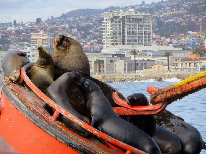 Anchor Bouy Canon SX280 Chile City Hareem Sea Lion Seals Seals On The Sea Shore Valparaíso