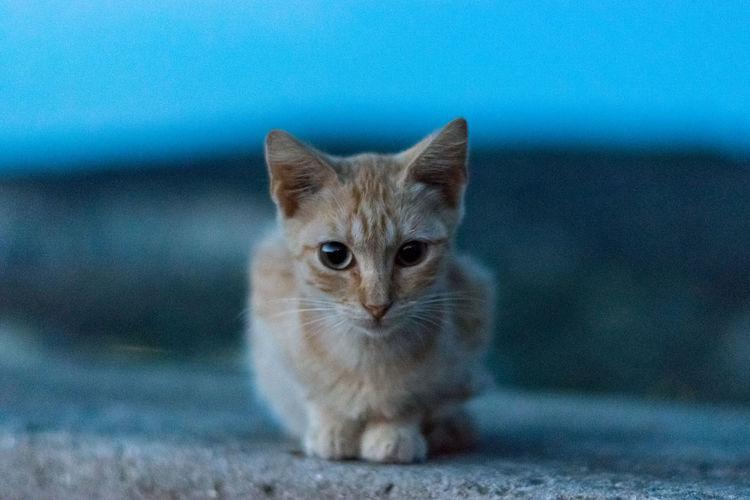 Orange kitten is watching you
