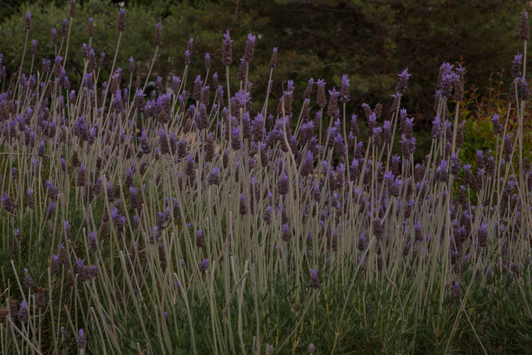 Field Rural Beauty In Nature Botany Field Flower Flowerbed Flowering Plant Fragility Freshness Growth Land Lavender Lavender Colored Plant Purple Tranquility Vulnerability