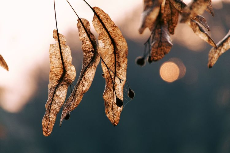 Close-up of dry leaves hanging on branch during sunrise