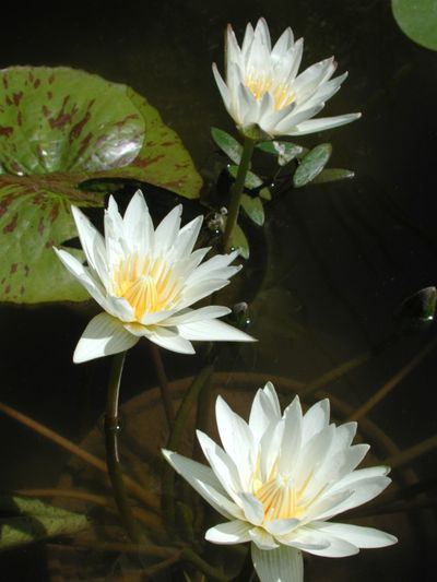 Beauty In Nature Blooming Close-up Floating On Water Flower Flower Head Fragility Freshness Growth High Angle View Lake Leaf Lotus Water Lily Nature Petal Plant Pond R.tullis Water Water Lily White Color