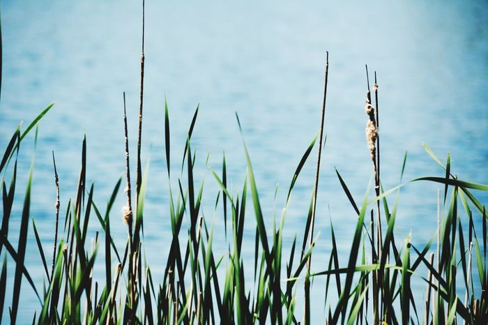 Grass Growth Plant Close-up Blade Of Grass Tranquility Green Color Nature Focus On Foreground Field Beauty In Nature Growing Lake Day No People Green Freshness Sky Outdoors Water Non-urban Scene Tall Grass