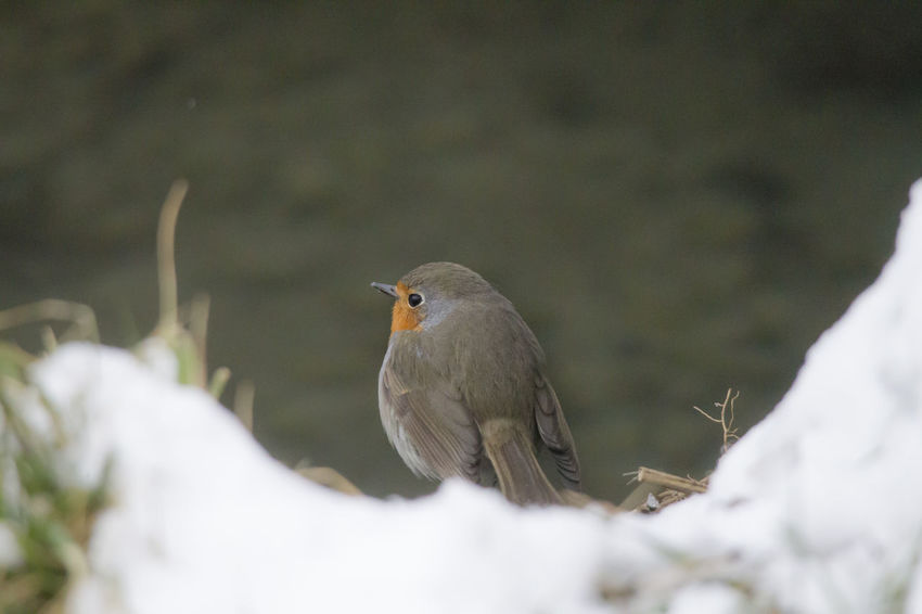 male robin in courtship plumage sits in the snow Animal Themes Animal Wildlife Animals In The Wild Beauty In Nature Bird Close-up Day Heron Nature No People One Animal Outdoors Perching