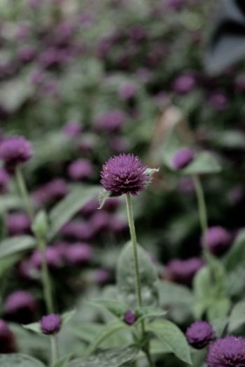 Beauty In Nature Blooming darkness and light Dull Dull But Beautiful Flower Flower Head Focus On Foreground Fragility Growth Nature Outdoors Pink Color Plant Purple