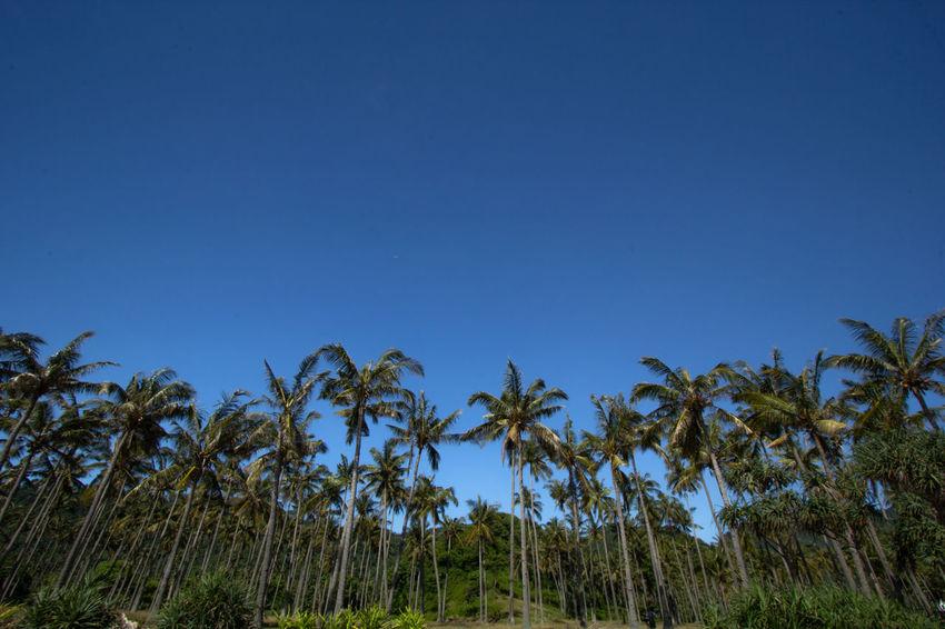 Beach Coconut Landscape Sky Tree Palm Tree Blue Sky