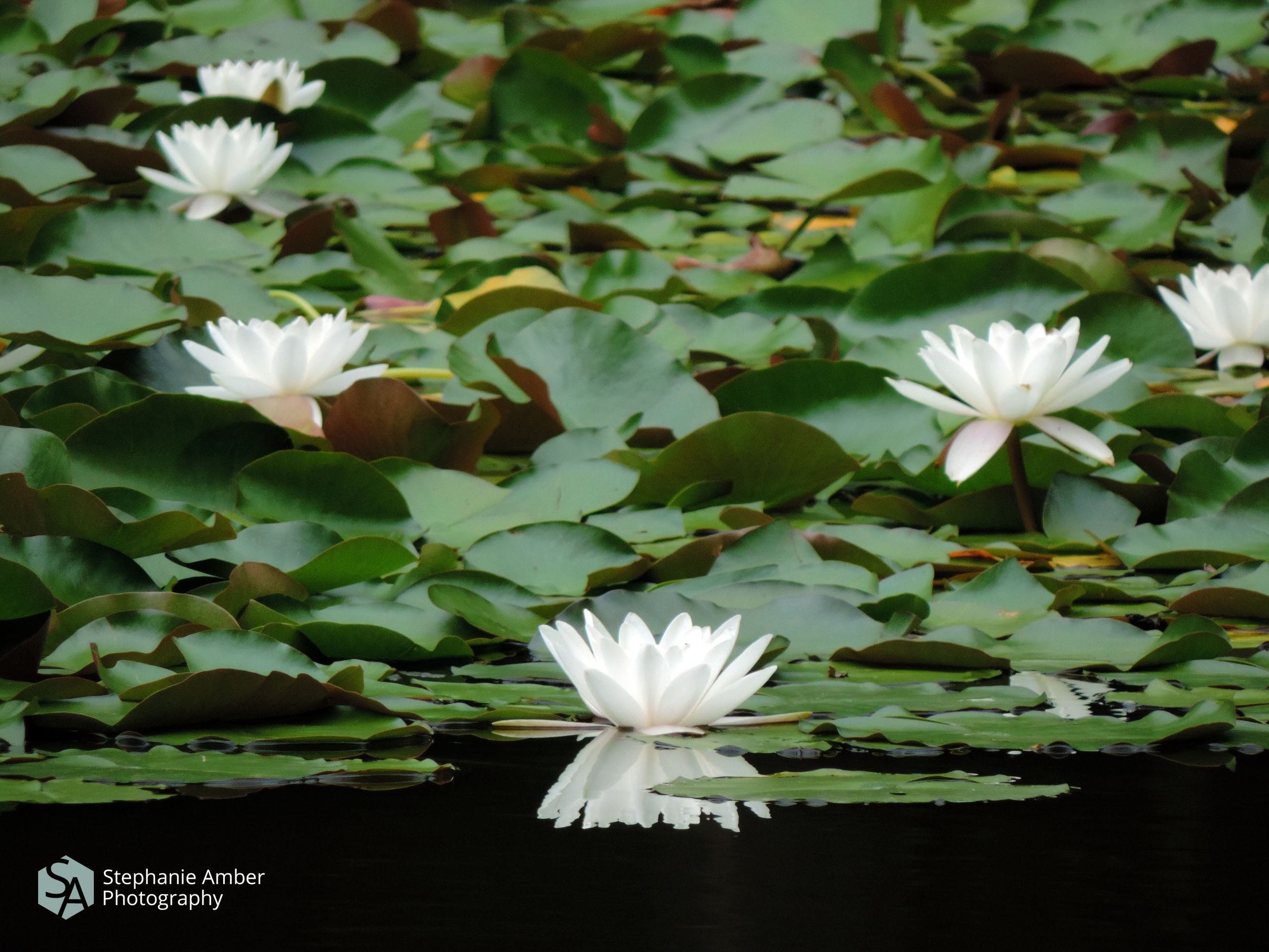 flowering plant, beauty in nature, plant, freshness, vulnerability, flower, petal, fragility, inflorescence, growth, flower head, white color, close-up, nature, leaf, plant part, no people, water lily, day, green color, floating on water, lotus water lily