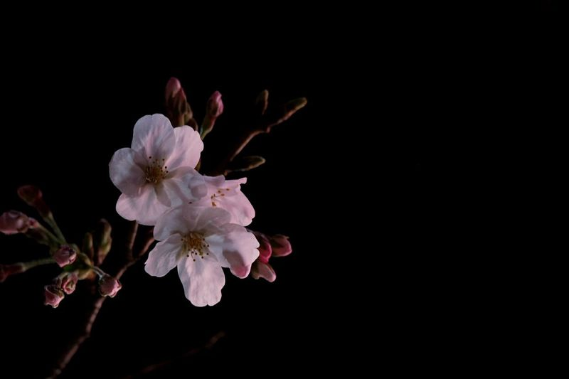 Flower Pink Color Beauty In Nature Nature Springtime Growth Close-up Flowerporn EyeEm Nature Lover Streetphotography Street View Olympus Street Taking Pictures Taking Photos Macro Flower Head Pinkflower Cherry Cherry Blossoms Petals 夜桜
