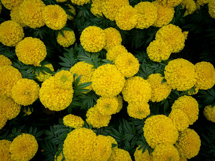 Full frame shot of yellow flowering plants