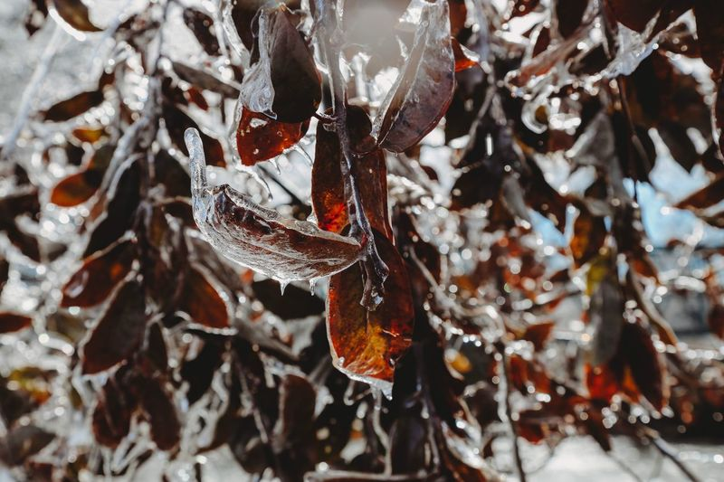 Winter Cold Temperature Snow Frozen Close-up Ice No People Day Nature Leaf Plant Part Focus On Foreground Leaves Plant Beauty In Nature Selective Focus Tree Icicle Branch Outdoors
