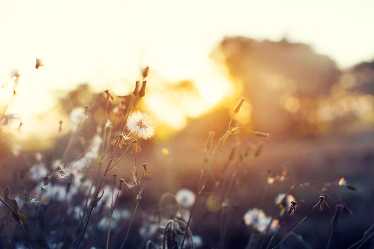 Nature background of beautiful meadow dandelion flowers in field on orange sunset. vintage filter effect, selective focus point, shallow depth of field Nature Sunlight Beauty In Nature Close-up Dandelion Day Field Flower Focus On Foreground Fragility Grass Growth Nature No People Outdoors Plant Shillouette Sky Sunlight Sunset Tranquility Vintage Wild Flowers