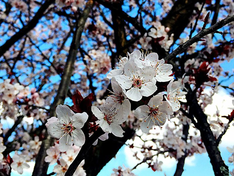 Flowers Tree_collection  Flower Collection Spring Into Spring Blossom Spring Has Arrived Spring Flowers EyeEm Nature Lover Cherry Blossoms Nature_collection