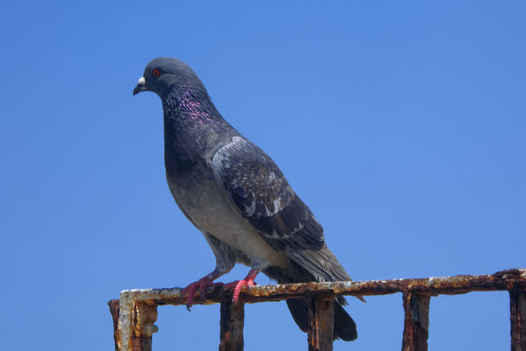 Low angle view of pigeon perching on wood against clear blue sky