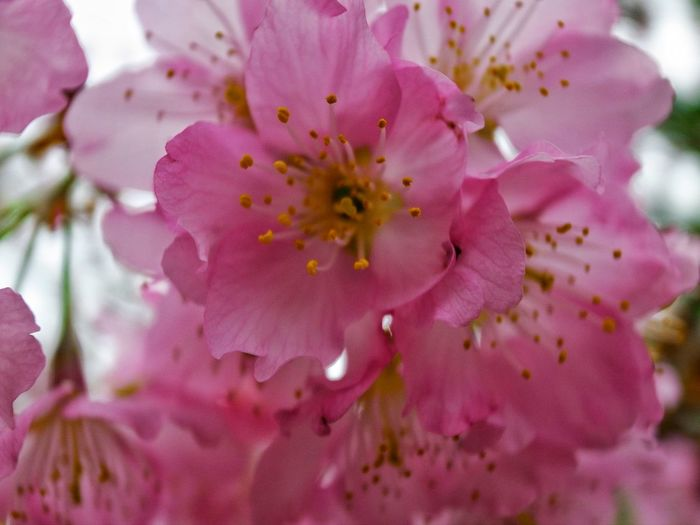 Flower Pink Color Nature Petal Beauty In Nature Close-up Fragility No People Stamen Growth Pollen Flower Head Freshness Plant Rhododendron Outdoors Pistil Day 臺灣 恩愛農場 Nature Taiwan