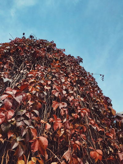 Low angle view of autumnal leaves against sky