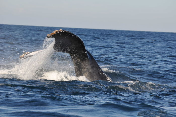 Aquatic Mammal Humpback Whale Outdoors Sea Sea Life Tail Water Whale