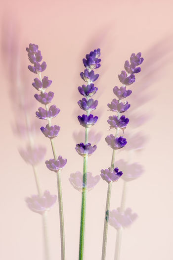 Lavender One