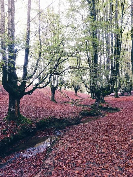Hayedo de Otzarreta in the Gorbeia Nature Park Hayedo Hayedo De Otzarreta Forest Fall Fall Beauty Basque Country Autumn Autumn Colors Autumn Beauty In Nature Tranquility Tranquil Scene Red Leaves Autumn🍁🍁🍁 Forest Photography Scenics Outdoors Tree Trees Leaf Fall Colors Fall Leaves