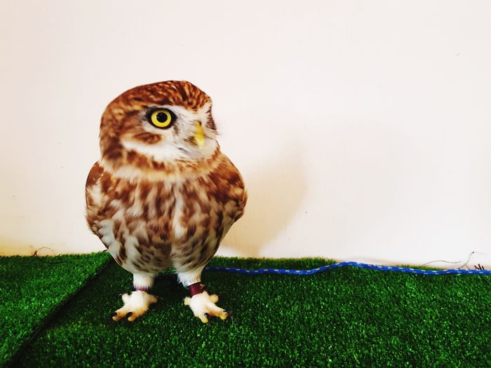 EyeEm Selects Owl Bird Animal Wildlife Bird Of Prey Animal Themes Confined Space Beauty In Nature Looking At Camera Perching Grass Portrait One Animal Nature Outdoors Great Outdoors Still Life Close-up Indoors  Pets Looking Owls Owl Eyes Owl Photography Owl Cafe Pet Portraits