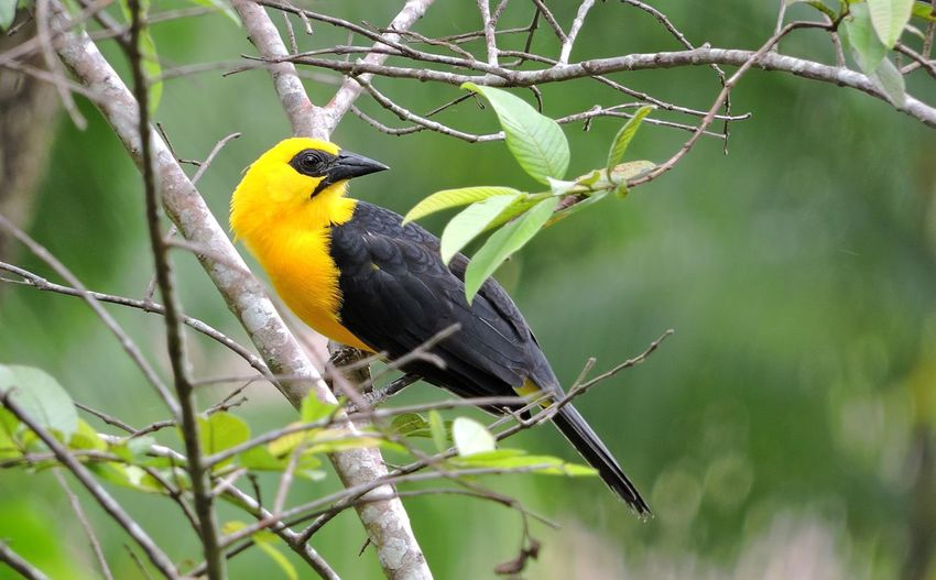 Turpial del llano. Animal Animal Themes Animal Wildlife Animals In The Wild Beak Beauty In Nature Bird Branch Close-up Day Focus On Foreground Nature No People One Animal Outdoors Perching Plant Vertebrate Yellow