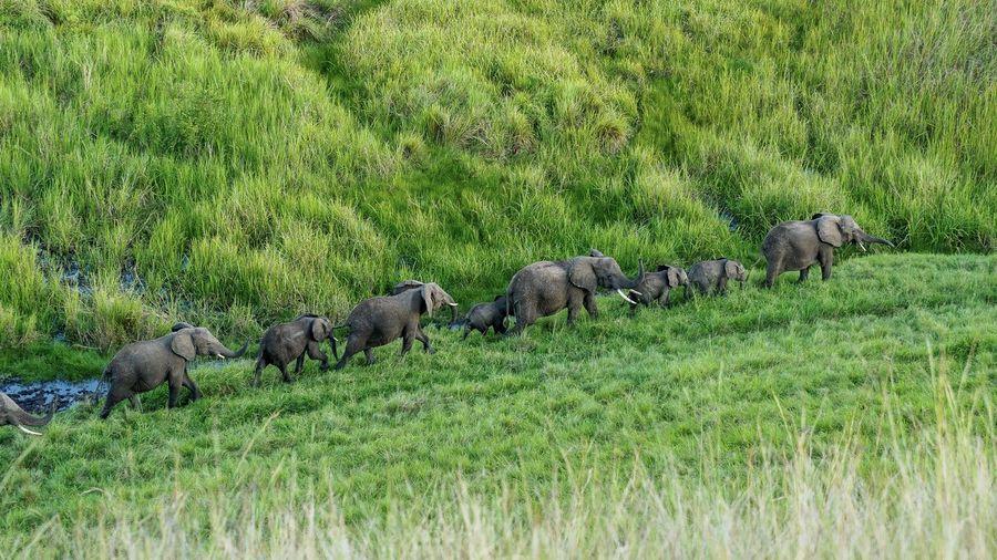 Elephants waking on field