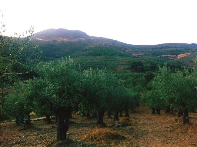 Marchagaz Olivas Olivar Olive Olives