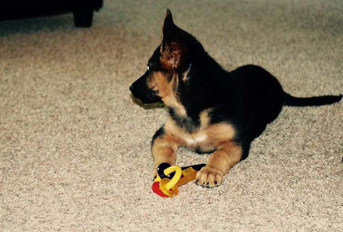 German shepherd puppy Dog German Shepherd GSD Gsdpuppy No People One Animal Pets Puppy First Eyeem Photo