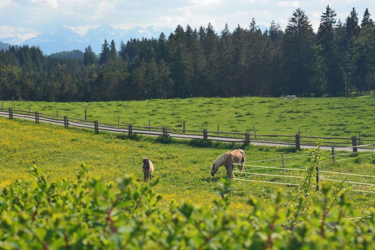 Horses Green