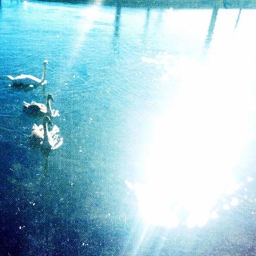 Shimmering Swans Water Sunshine Overexposure Calm