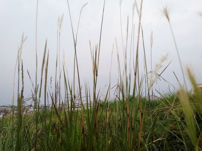 Grass Growth Nature Outdoors Plant Tranquility Day No People Ruralphotography Grass Tranquility Nature Plant Tranquil Scene Green Color Beauty In Nature Rural Scene Marsh Timothy Grass Water Close-up Cereal Plant Flower Freshness Sky
